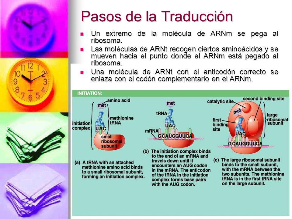 Pasos de la Traducción Un extremo de la molécula de ARNm se pega al ribosoma.