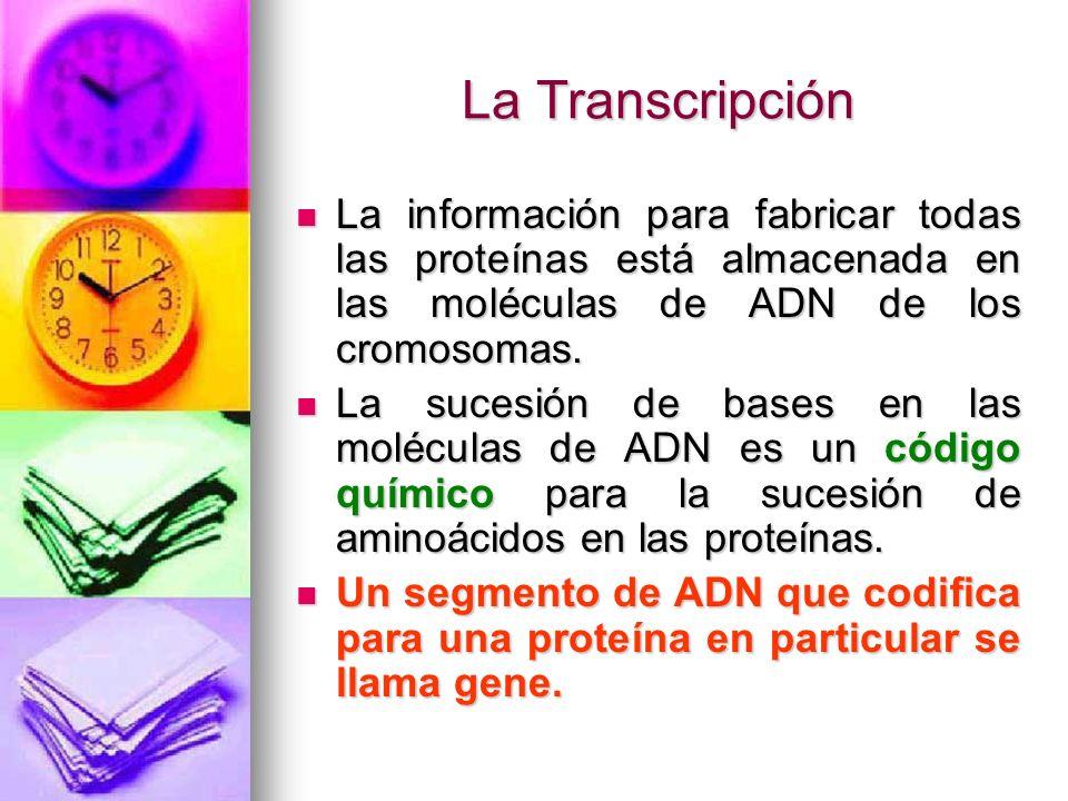 La TranscripciónLa información para fabricar todas las proteínas está almacenada en las moléculas de ADN de los cromosomas.