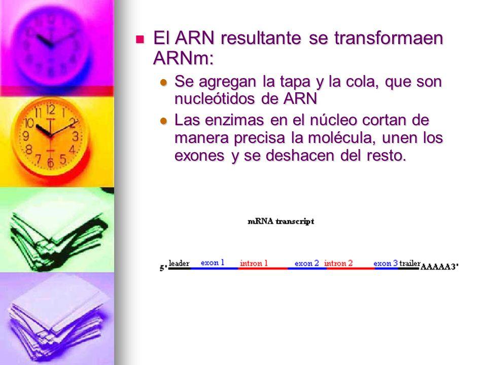 El ARN resultante se transformaen ARNm: