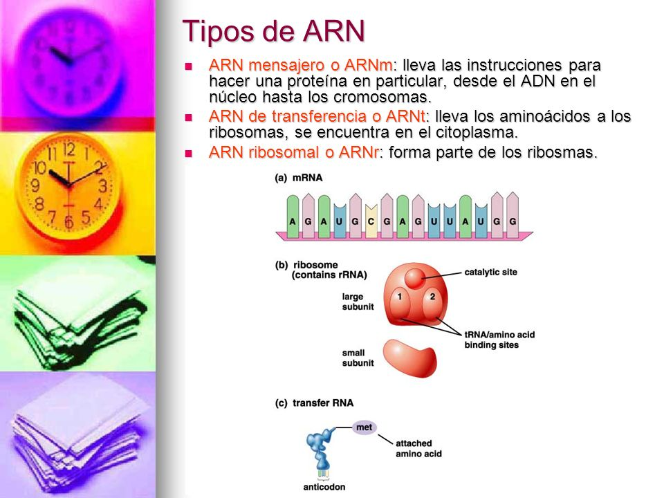 Tipos de ARN ARN mensajero o ARNm: lleva las instrucciones para hacer una proteína en particular, desde el ADN en el núcleo hasta los cromosomas.
