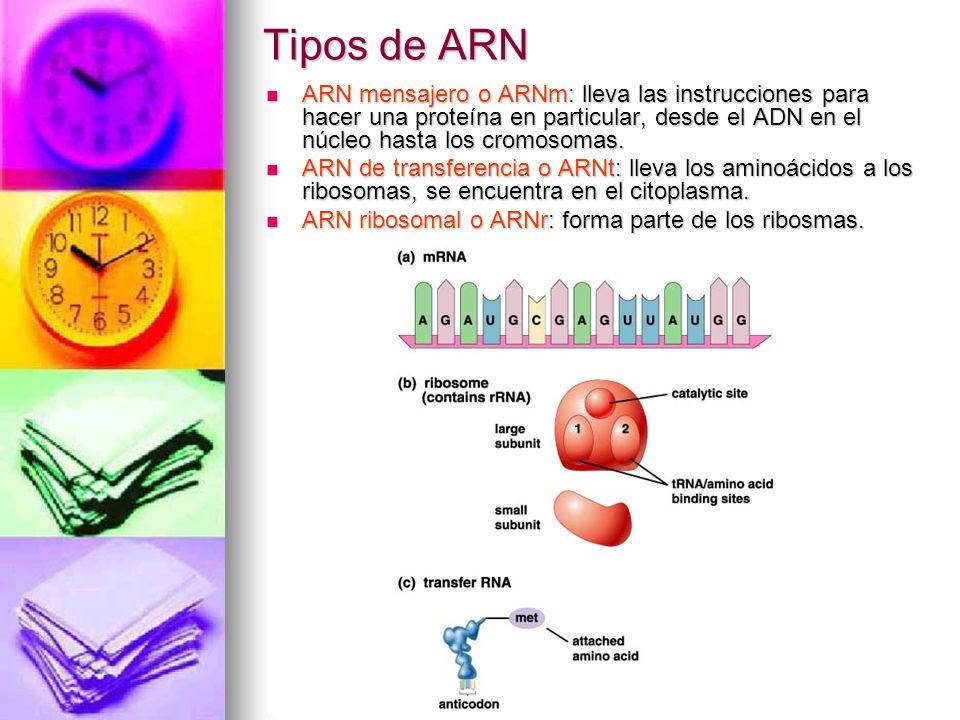 Tipos de ARNARN mensajero o ARNm: lleva las instrucciones para hacer una proteína en particular, desde el ADN en el núcleo hasta los cromosomas.