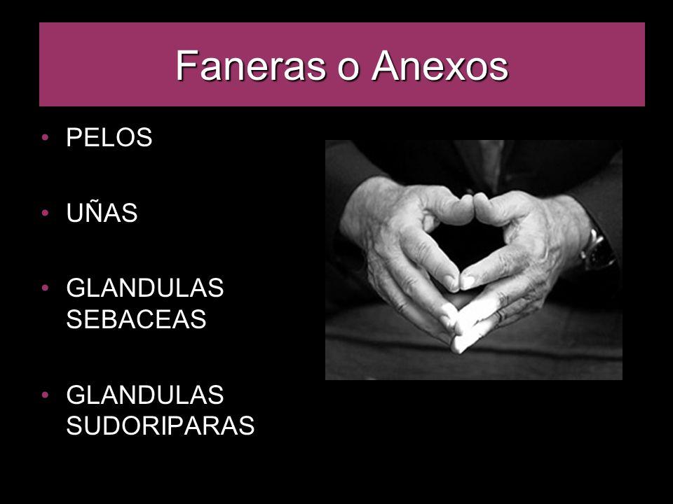 Faneras o Anexos PELOS UÑAS GLANDULAS SEBACEAS GLANDULAS SUDORIPARAS