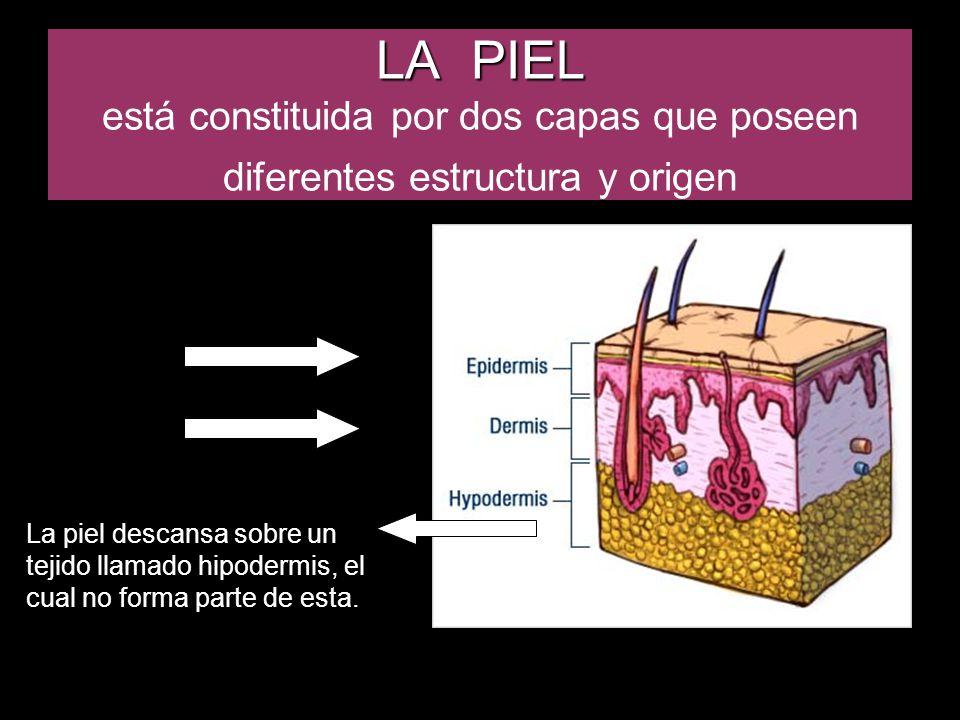 LA PIEL está constituida por dos capas que poseen diferentes estructura y origen