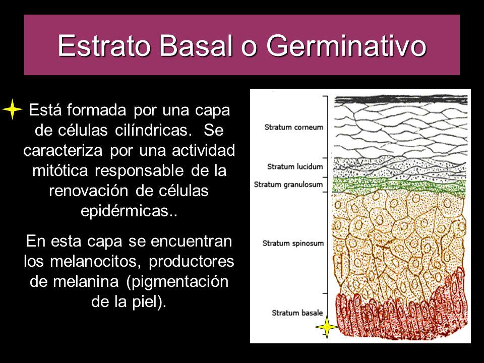 Estrato Basal o Germinativo