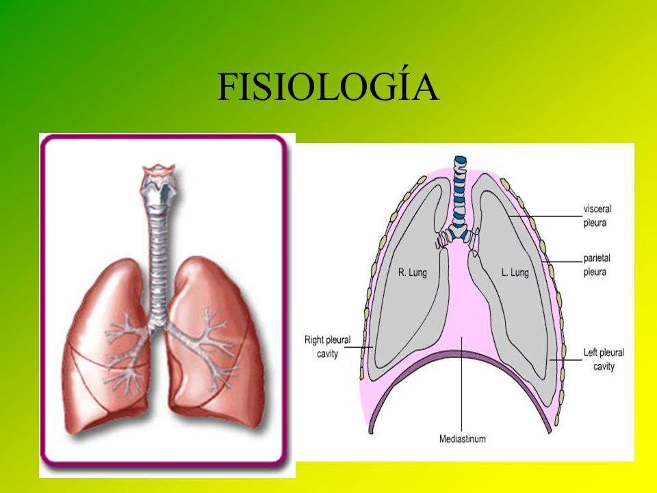 Lujo Anatomía Pulmonar Bronquial Modelo - Imágenes de Anatomía ...