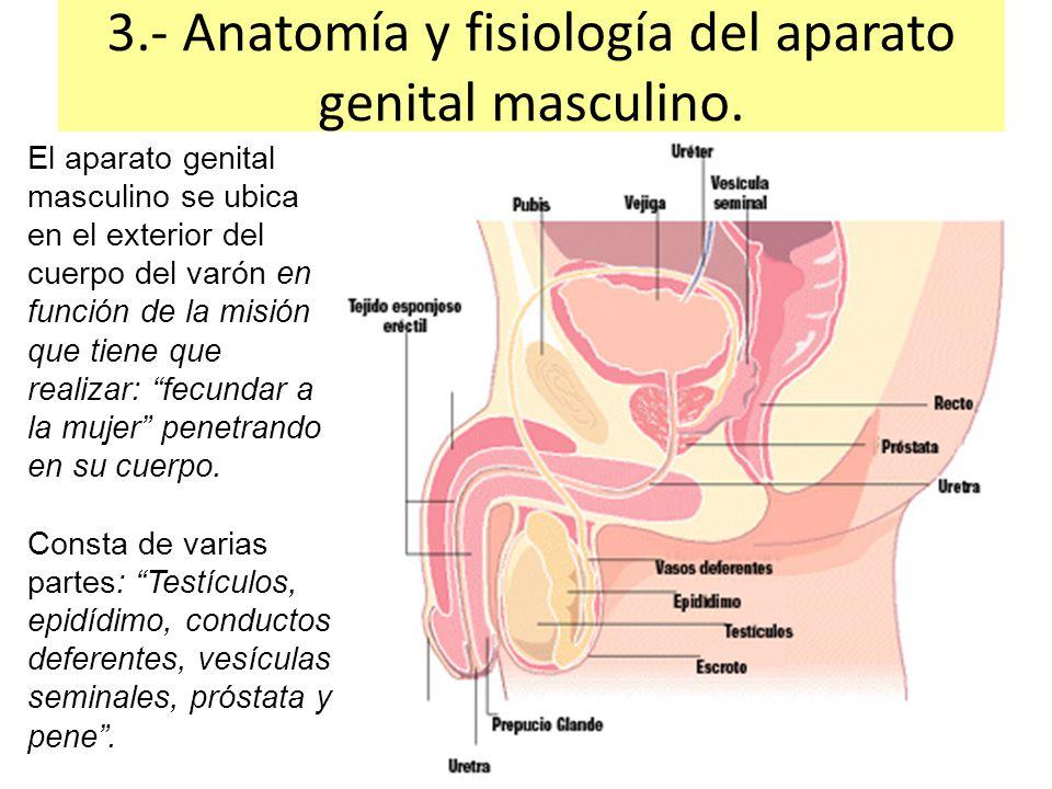 Excelente Anatomía De Los Genitales Masculinos Adorno - Imágenes de ...