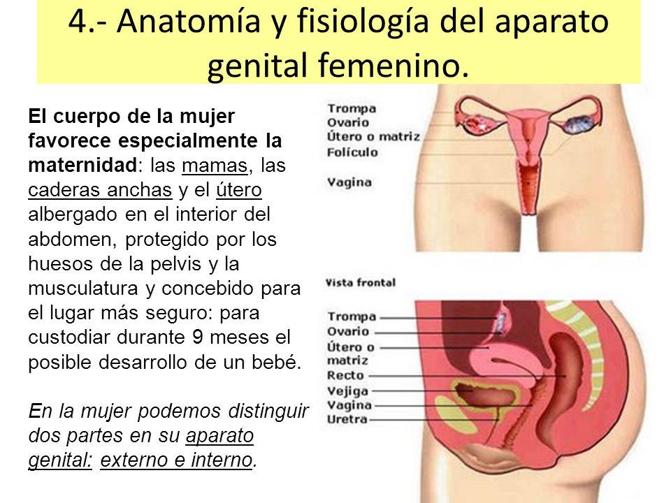 Asombroso órganos Genitales Femeninas Anatomía Adorno - Anatomía de ...