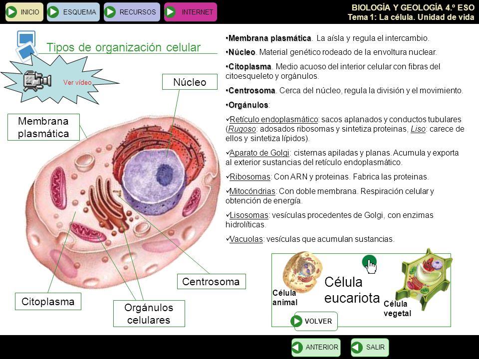eucariota Tipos de organización celular Célula Núcleo