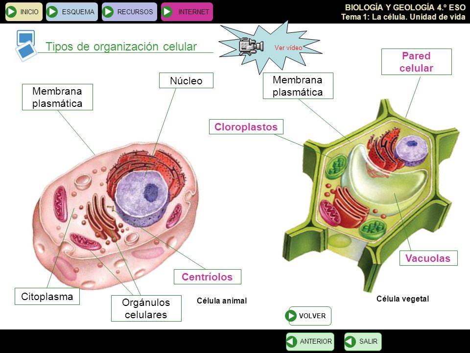 Tipos de organización celular