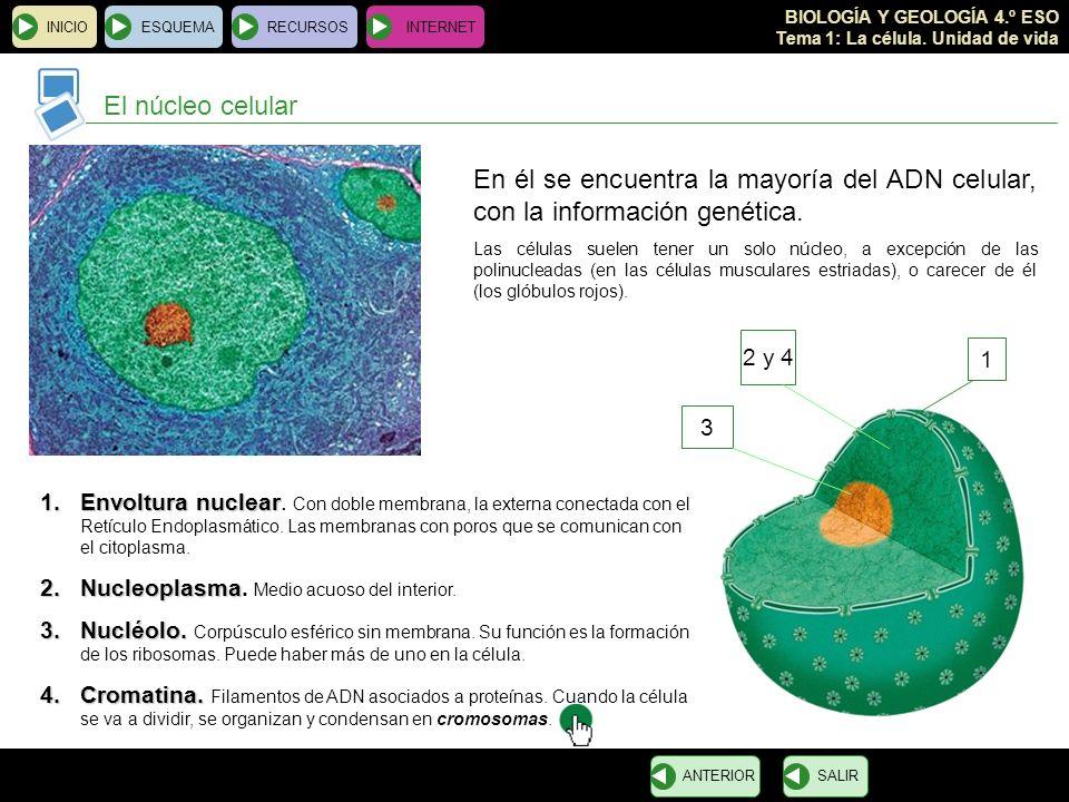 INICIO ESQUEMA. RECURSOS. INTERNET. El núcleo celular. En él se encuentra la mayoría del ADN celular, con la información genética.