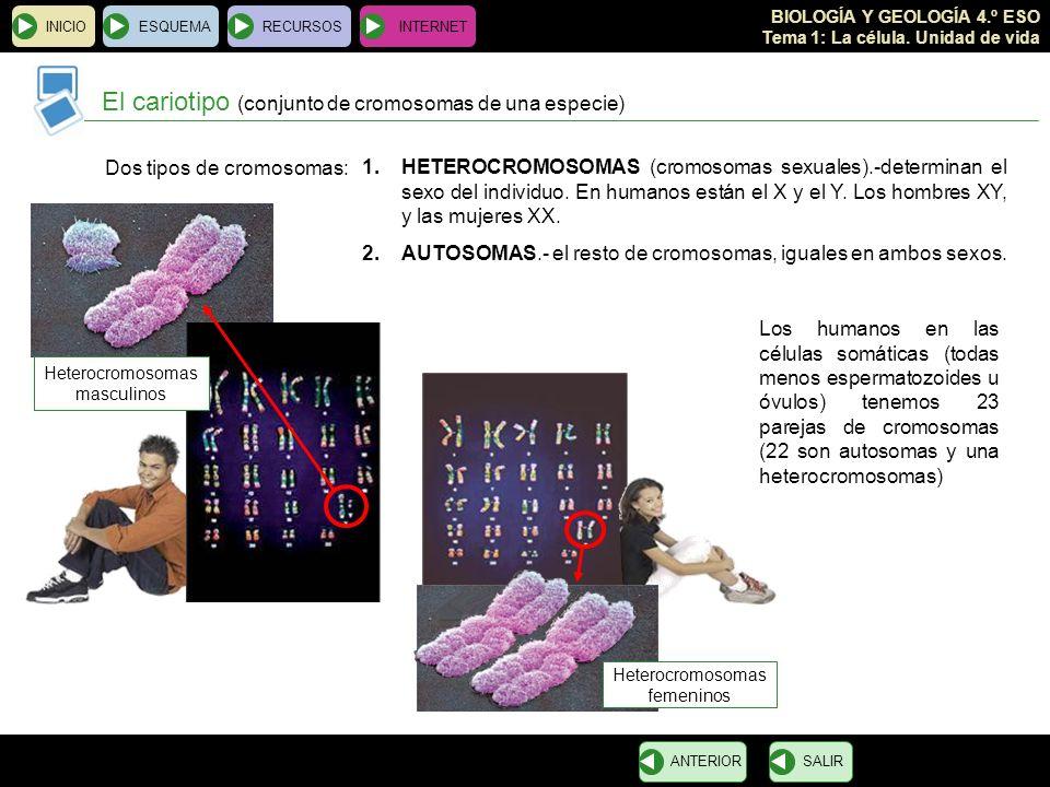 El cariotipo (conjunto de cromosomas de una especie)
