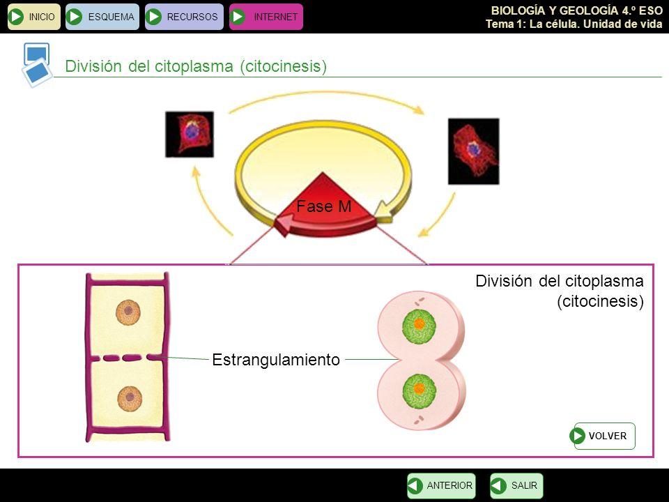 División del citoplasma (citocinesis)