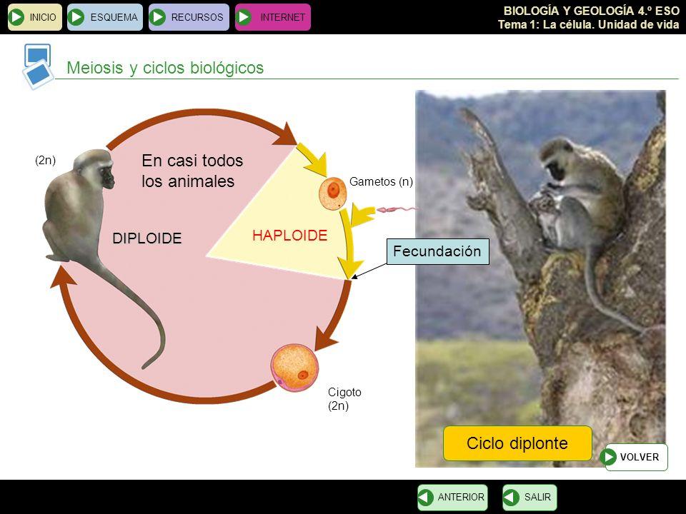 Meiosis y ciclos biológicos