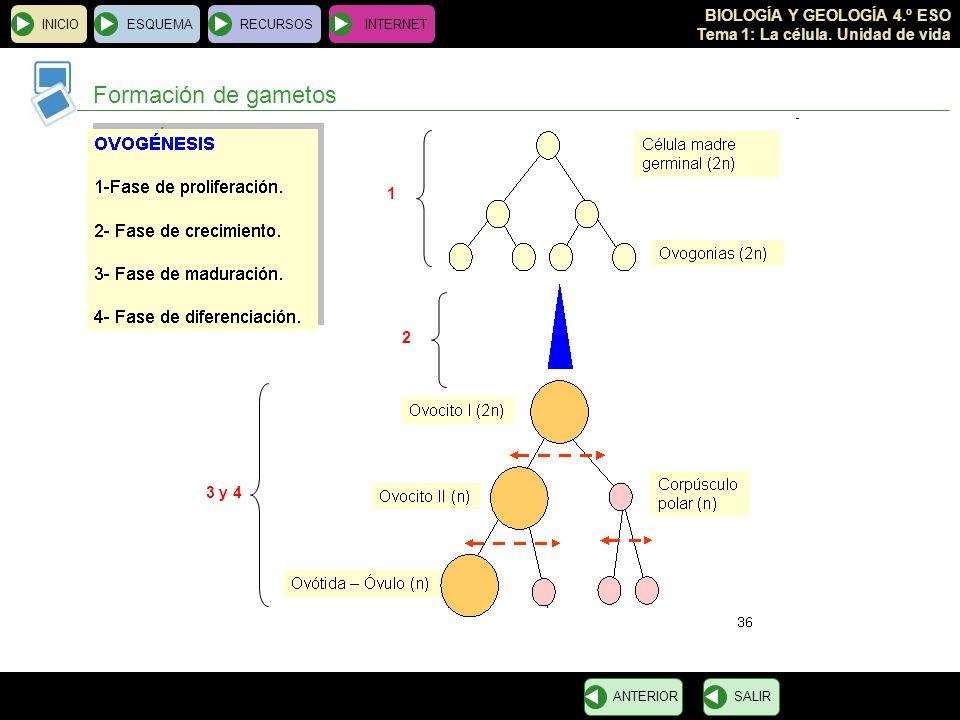 Formación de gametos 1 2 3 y 4 INICIO ESQUEMA RECURSOS INTERNET