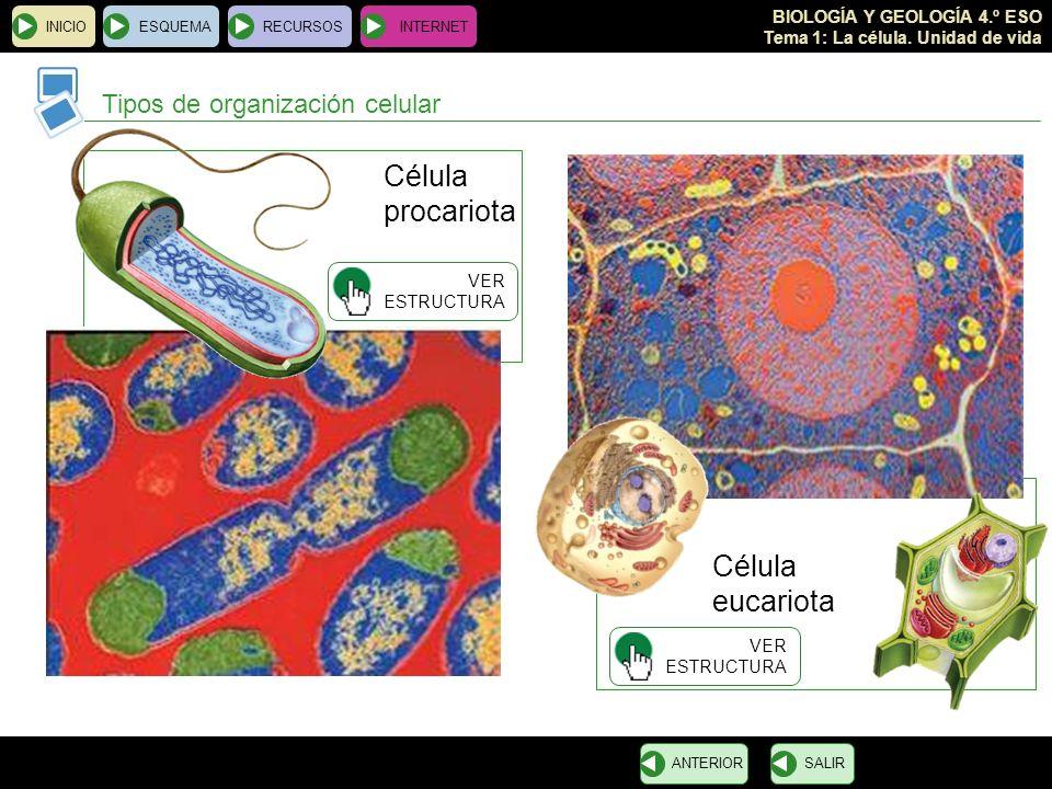 Célula procariota eucariota Tipos de organización celular Célula