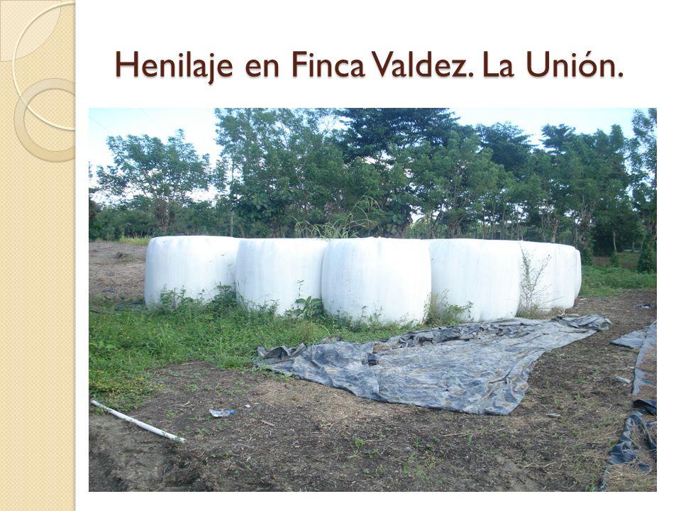 Henilaje en Finca Valdez. La Unión.