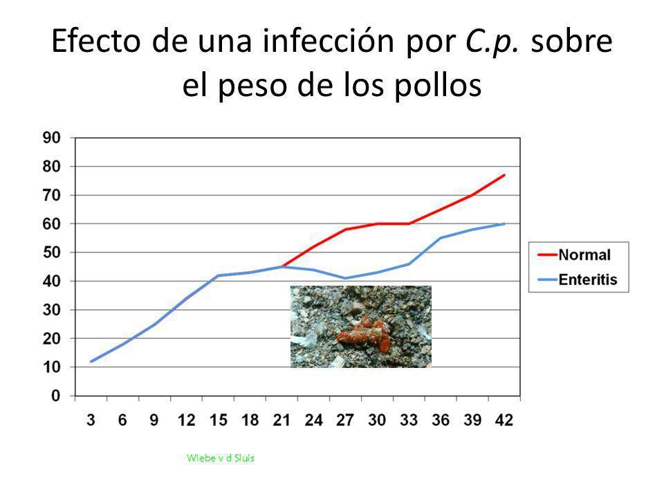 Efecto de una infección por C.p. sobre el peso de los pollos
