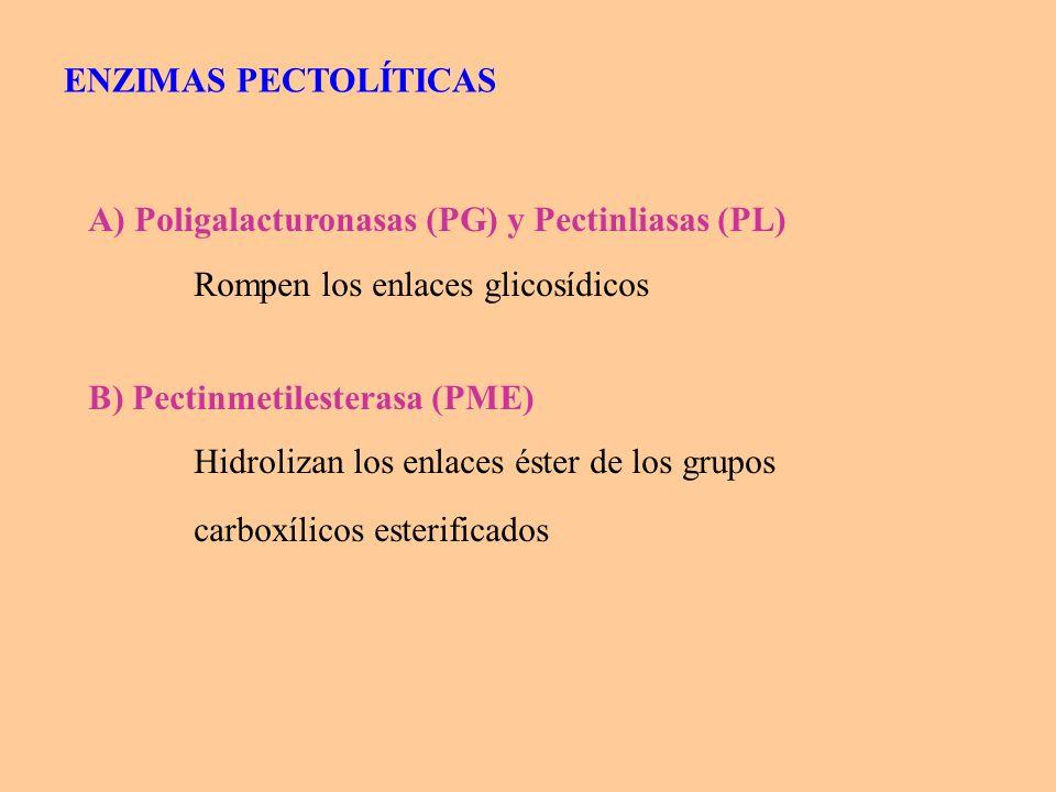 ENZIMAS PECTOLÍTICAS A) Poligalacturonasas (PG) y Pectinliasas (PL) Rompen los enlaces glicosídicos.