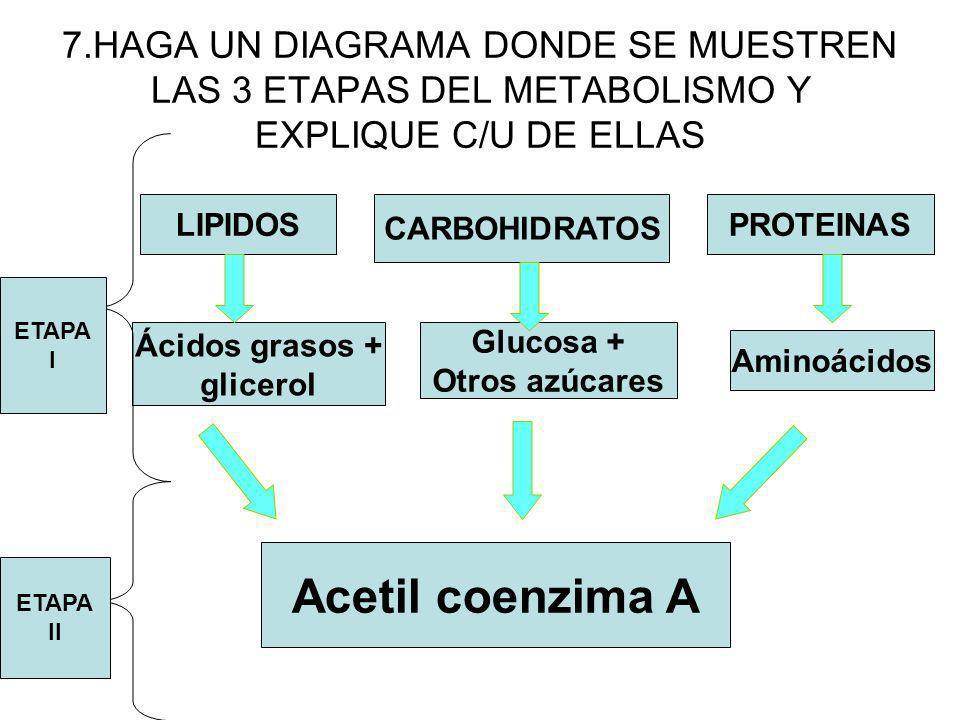 7.HAGA UN DIAGRAMA DONDE SE MUESTREN LAS 3 ETAPAS DEL METABOLISMO Y EXPLIQUE C/U DE ELLAS