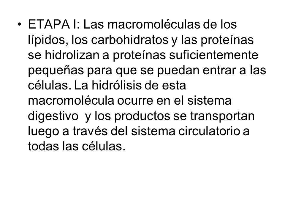 ETAPA I: Las macromoléculas de los lípidos, los carbohidratos y las proteínas se hidrolizan a proteínas suficientemente pequeñas para que se puedan entrar a las células.