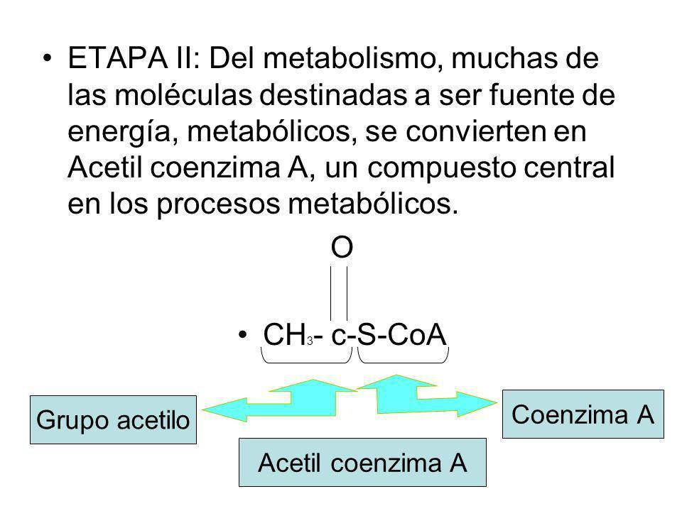 ETAPA II: Del metabolismo, muchas de las moléculas destinadas a ser fuente de energía, metabólicos, se convierten en Acetil coenzima A, un compuesto central en los procesos metabólicos.