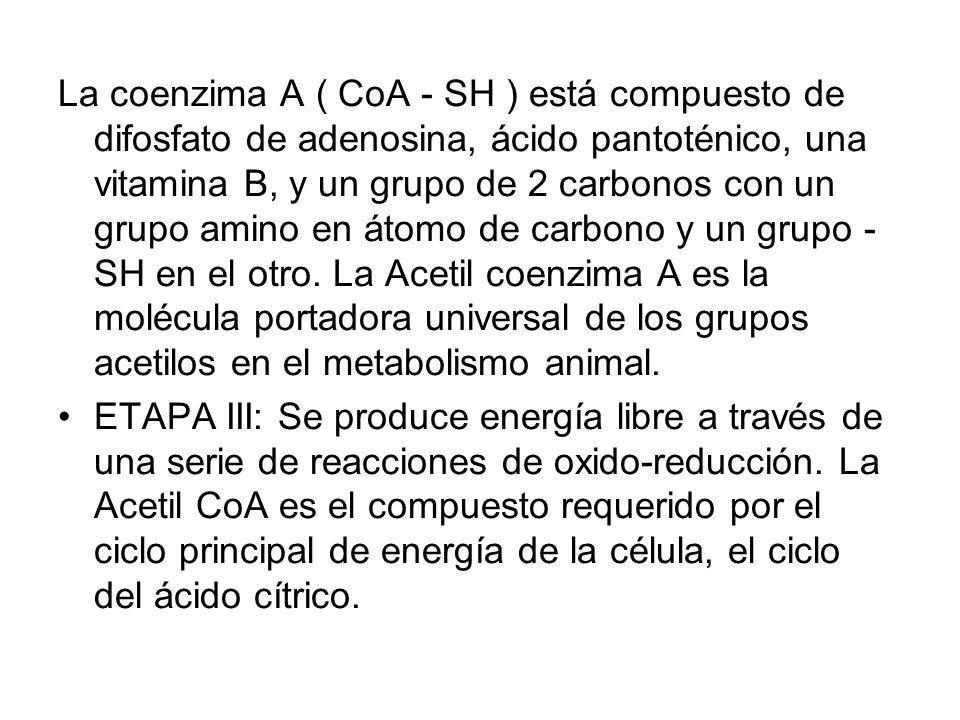 La coenzima A ( CoA - SH ) está compuesto de difosfato de adenosina, ácido pantoténico, una vitamina B, y un grupo de 2 carbonos con un grupo amino en átomo de carbono y un grupo - SH en el otro. La Acetil coenzima A es la molécula portadora universal de los grupos acetilos en el metabolismo animal.