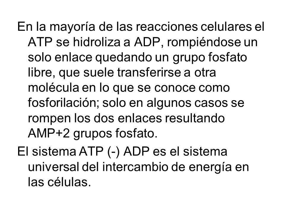 En la mayoría de las reacciones celulares el ATP se hidroliza a ADP, rompiéndose un solo enlace quedando un grupo fosfato libre, que suele transferirse a otra molécula en lo que se conoce como fosforilación; solo en algunos casos se rompen los dos enlaces resultando AMP+2 grupos fosfato.