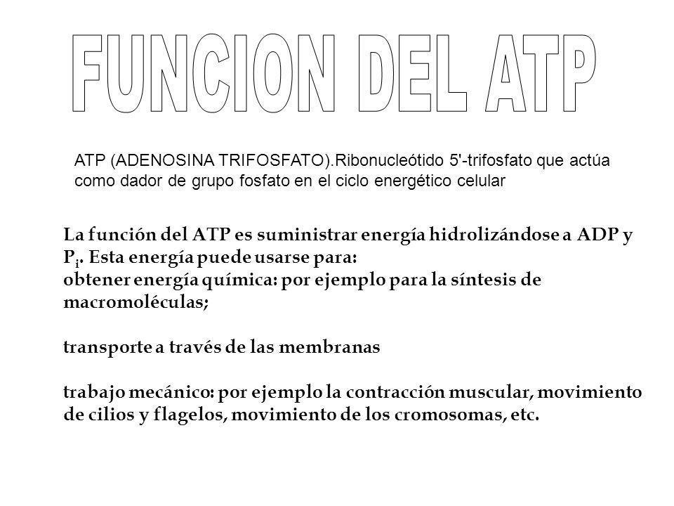 FUNCION DEL ATP ATP (ADENOSINA TRIFOSFATO).Ribonucleótido 5 -trifosfato que actúa como dador de grupo fosfato en el ciclo energético celular.