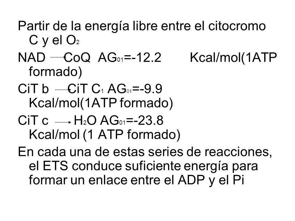 Partir de la energía libre entre el citocromo C y el O2