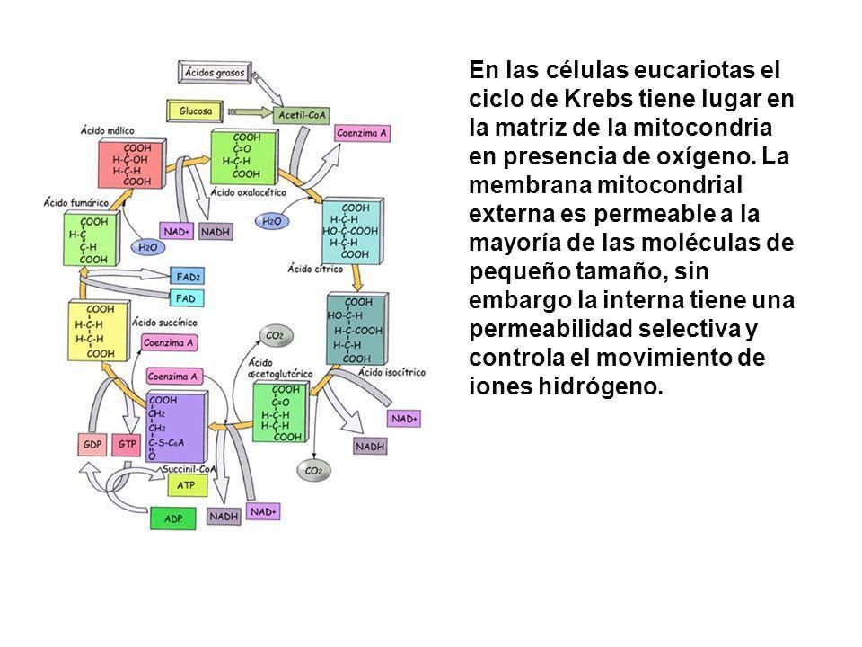 En las células eucariotas el ciclo de Krebs tiene lugar en la matriz de la mitocondria en presencia de oxígeno.