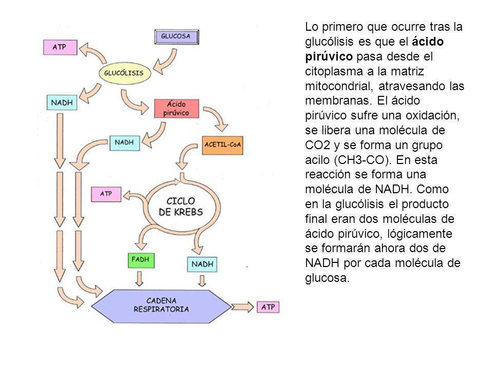 Lo primero que ocurre tras la glucólisis es que el ácido pirúvico pasa desde el citoplasma a la matriz mitocondrial, atravesando las membranas.