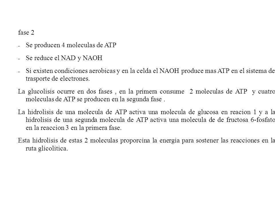 fase 2 Se producen 4 moleculas de ATP. Se reduce el NAD y NAOH.