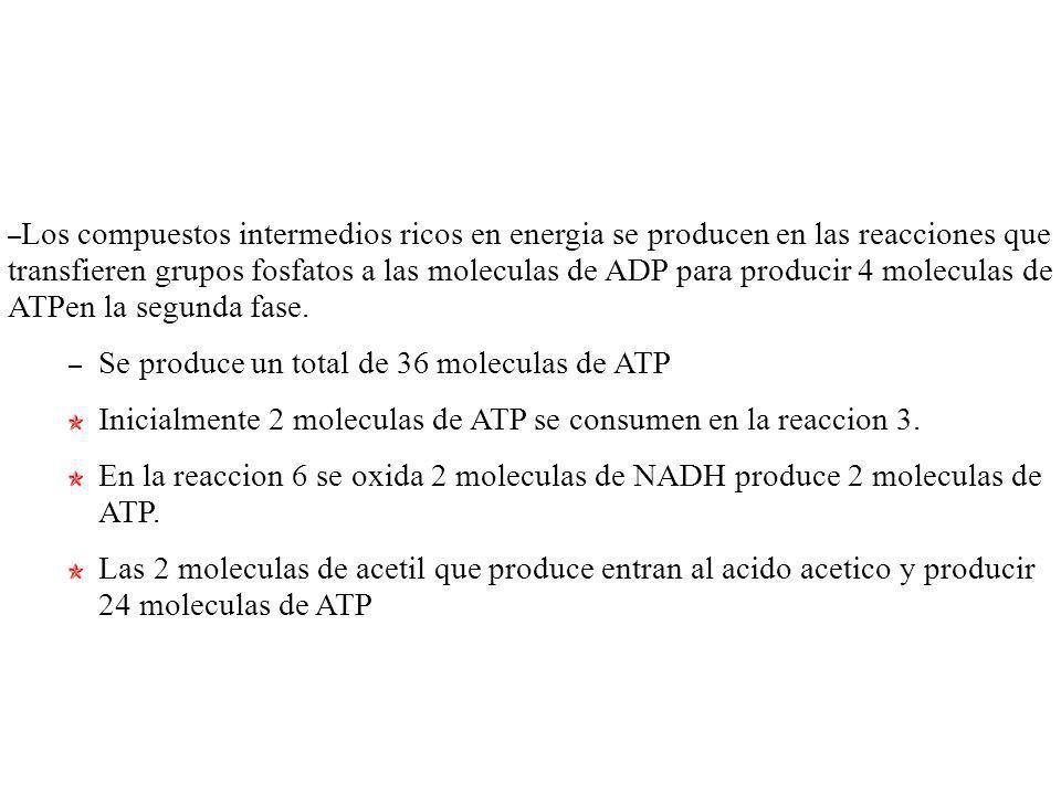 Los compuestos intermedios ricos en energia se producen en las reacciones que transfieren grupos fosfatos a las moleculas de ADP para producir 4 moleculas de ATPen la segunda fase.