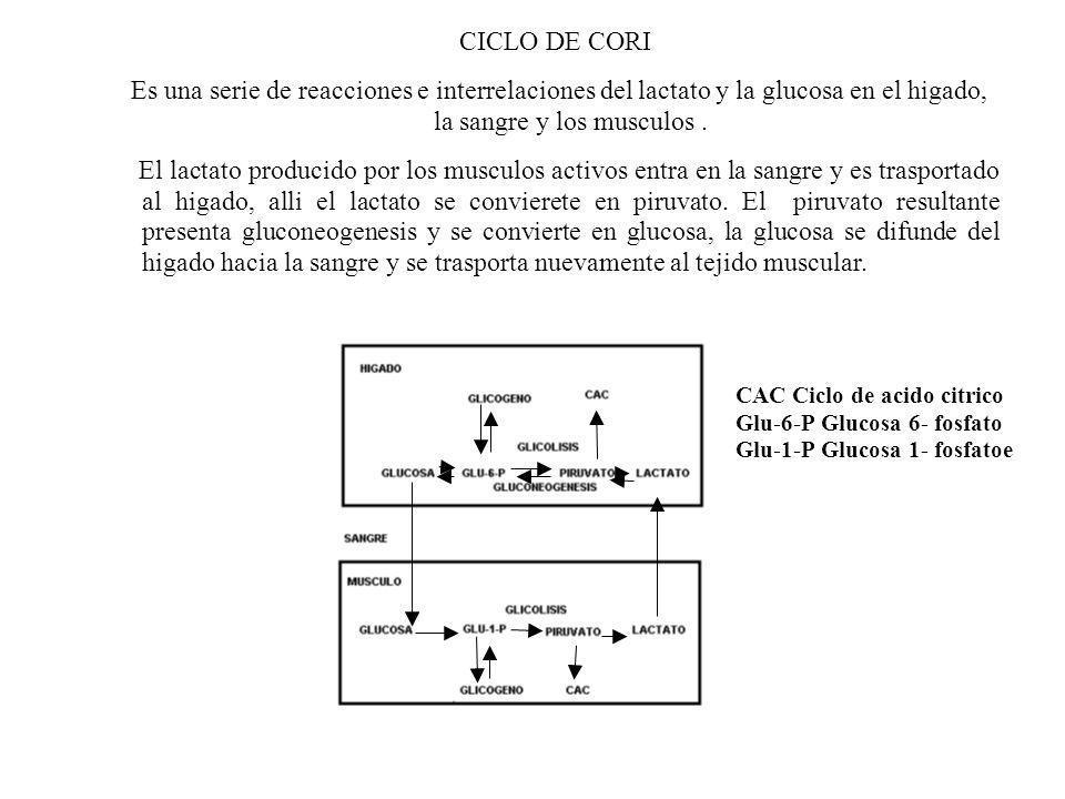 CICLO DE CORI Es una serie de reacciones e interrelaciones del lactato y la glucosa en el higado, la sangre y los musculos .