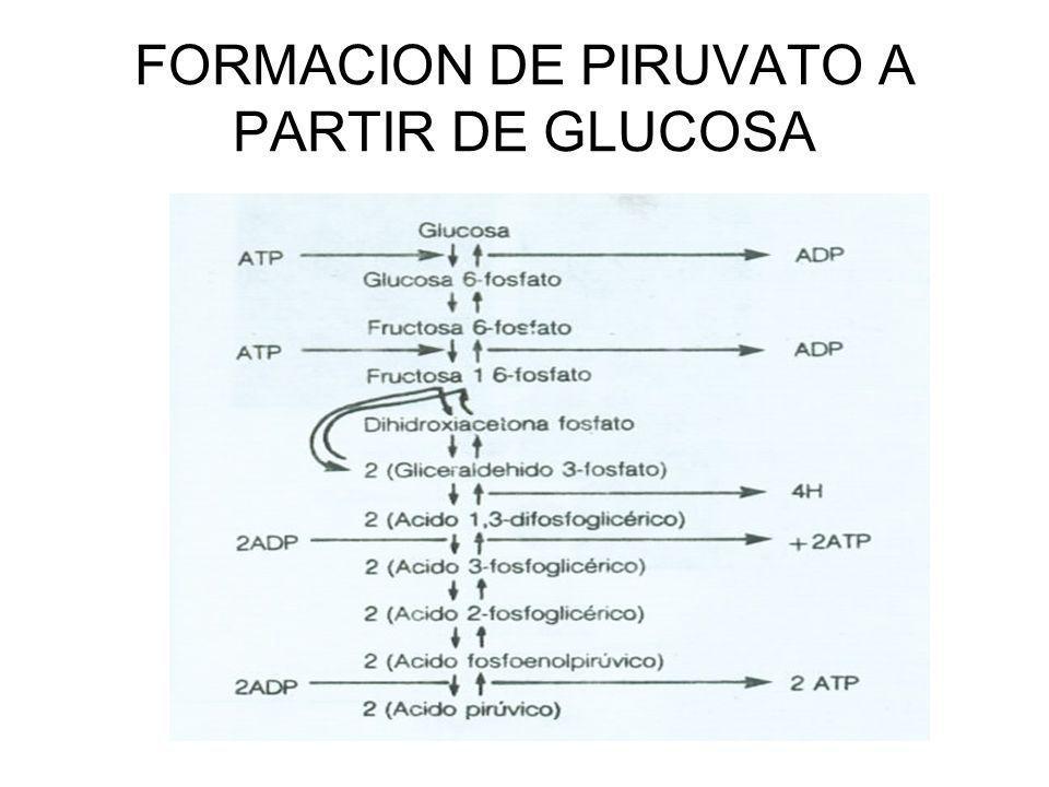 FORMACION DE PIRUVATO A PARTIR DE GLUCOSA