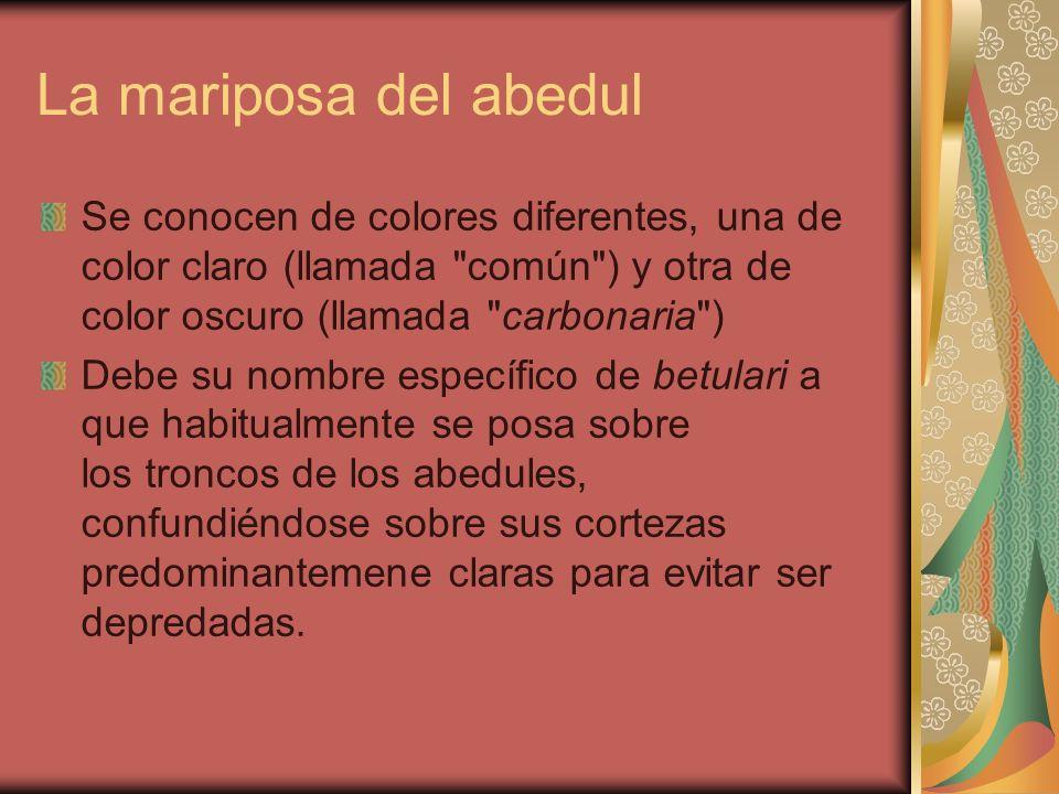 La mariposa del abedul Se conocen de colores diferentes, una de color claro (llamada común ) y otra de color oscuro (llamada carbonaria )