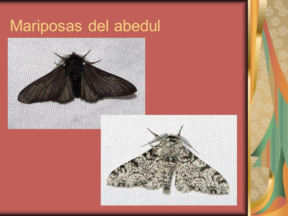 Mariposas del abedul