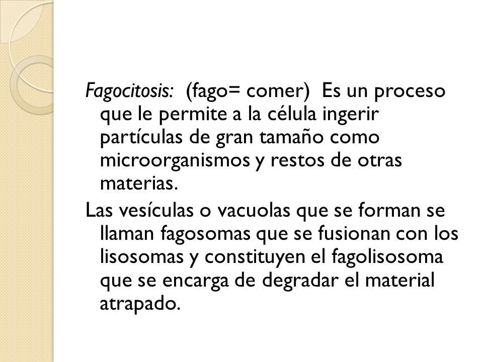 Fagocitosis: (fago= comer) Es un proceso que le permite a la célula ingerir partículas de gran tamaño como microorganismos y restos de otras materias.