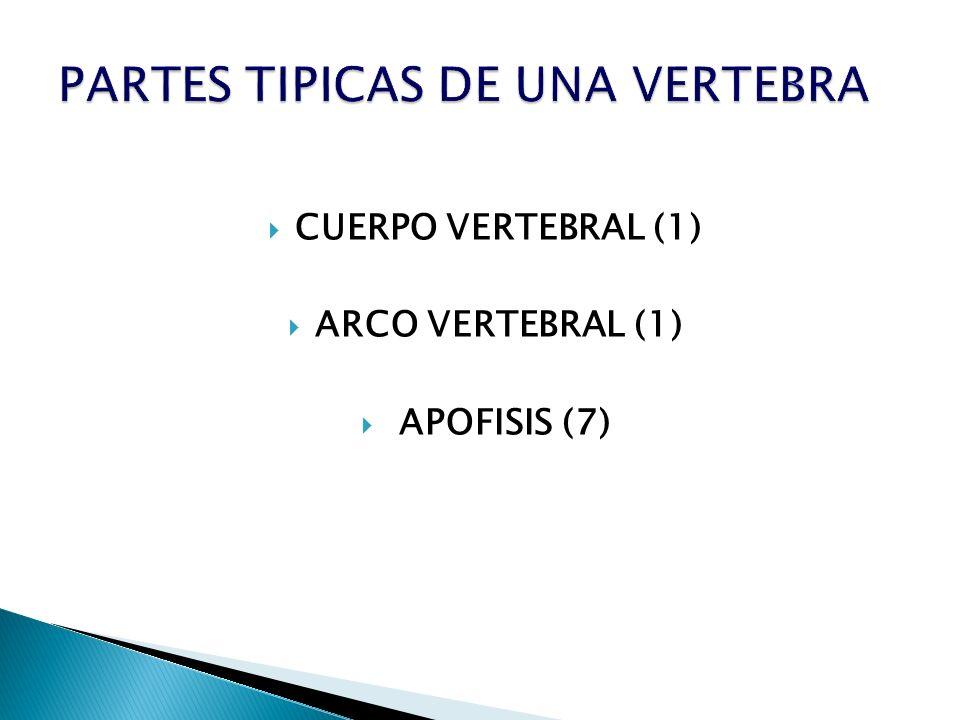 PARTES TIPICAS DE UNA VERTEBRA