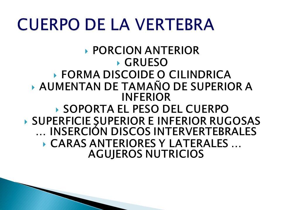 CUERPO DE LA VERTEBRA PORCION ANTERIOR GRUESO