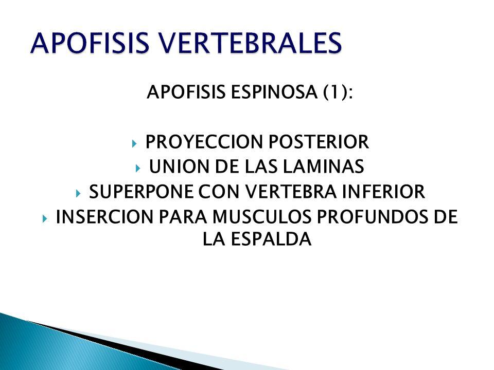 APOFISIS VERTEBRALES APOFISIS ESPINOSA (1): PROYECCION POSTERIOR