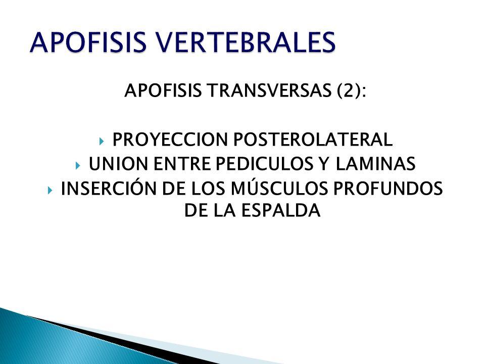 APOFISIS VERTEBRALES APOFISIS TRANSVERSAS (2):