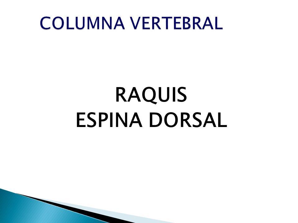 COLUMNA VERTEBRAL RAQUIS ESPINA DORSAL
