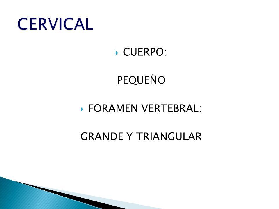 CERVICAL CUERPO: PEQUEÑO FORAMEN VERTEBRAL: GRANDE Y TRIANGULAR