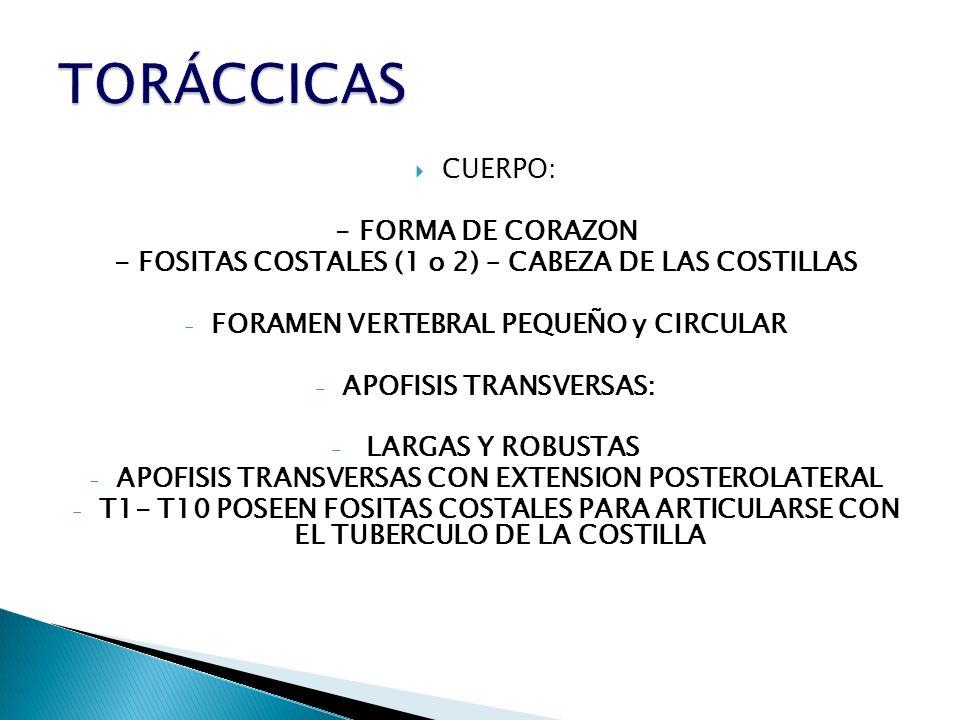 TORÁCCICAS CUERPO: - FORMA DE CORAZON