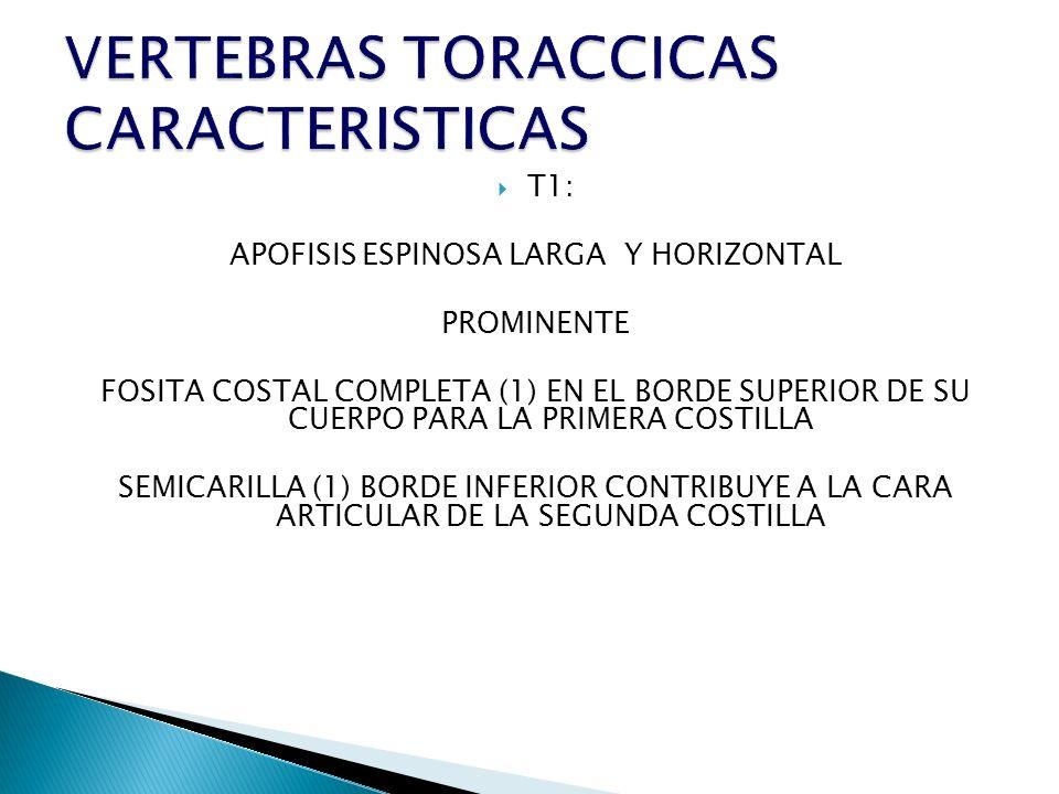 VERTEBRAS TORACCICAS CARACTERISTICAS
