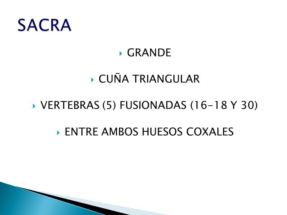 SACRA GRANDE CUÑA TRIANGULAR VERTEBRAS (5) FUSIONADAS (16-18 Y 30)