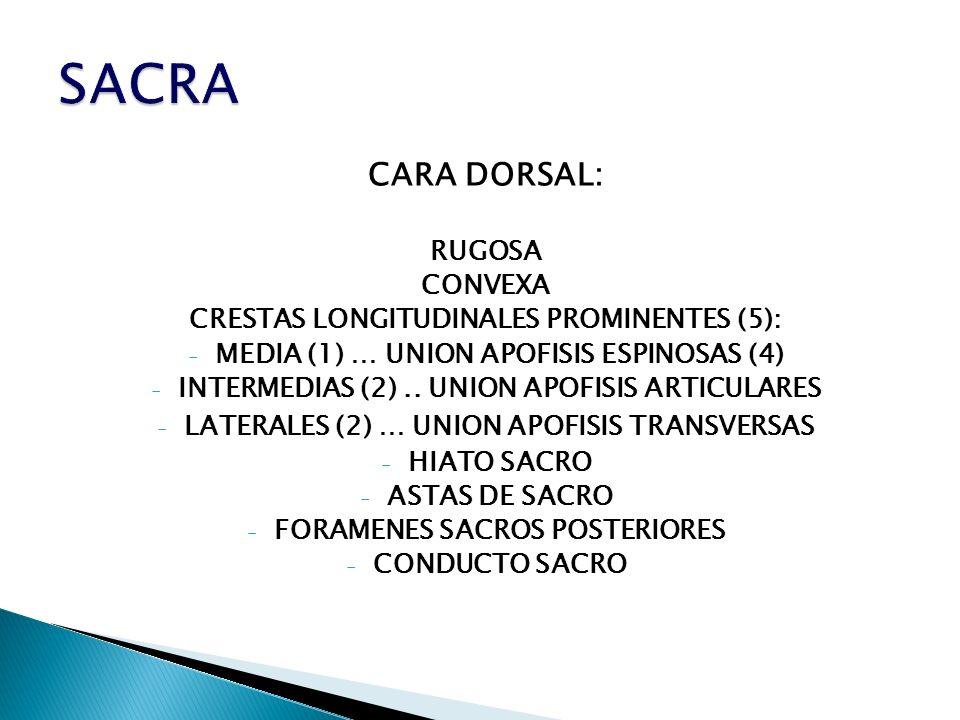 SACRA CARA DORSAL: RUGOSA CONVEXA