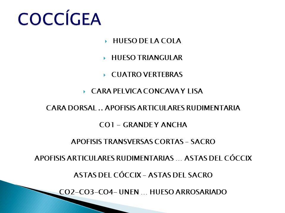COCCÍGEA HUESO DE LA COLA HUESO TRIANGULAR CUATRO VERTEBRAS