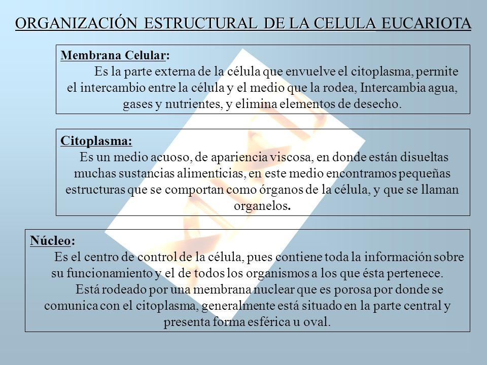 ORGANIZACIÓN ESTRUCTURAL DE LA CELULA EUCARIOTA